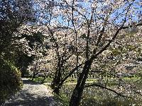 大雲寺の桜 散りはじめ